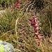 Ajuga reptans L.<br />Lamiaceae<br /><br />Iva comune.<br />Bugle rampante.<br />Kriechender Günsel.