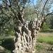 Hier wurde dieser wunderbare alte Olivenbaum als Plakettenhalter mißbraucht. Man beachte, daß er schon abgesägt wurde, neue Äste sprießen aber wieder aus dem Stamm heraus.