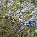 """.. gleich neben """"Gewöhnlichen"""" (Fransenenzian) - noch immer blühen ein paar wenige Blumen"""