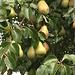 Birnen in Salmsach