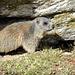 Der gespaltene Stein ist ein geeignetes Zuhause für Murmeltiere