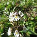 Wiesen-Augentrost (Euphrasia rostkoviana)