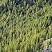Die Lärchenwälder beginnen sich zu verfärben