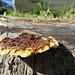 Holzpilz, der heute groß herauskommt