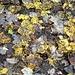 <b>Conosco molto bene il Bosco di Piei: l'ho attraversato innumerevoli volte, lungo un sentiero che lo taglia con alcune curve ad angolo acuto, che pongono dei problemi agli sciatori. Oggi il fondo è coperto da uno spesso strato di foglie di acero di monte, gialle, punteggiate di marrone. </b>