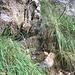 Zwischen dem Einstieg in den Stufenpfad und dem Einstieg in den Runsenpfad findet sich diese markante, allen Querpfadbegehern bekannte Stelle: Hier tropft es eigentlich immer, und unten hat's ein Auffangbecken.