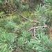 Die Föhren bestimmen, zusammen mit dem Pfeifengras, eh die Vegetation in der nördlichen Fallätsche. Hier, auf dem Föhrenpfad, sind sie die ständigen (und nicht nur angenehmen) Begleiterinnen.