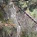 Dann die Challenge dieser Route: die drei bis vier Meter hohe Sandsteinwand auf gut halber Strecke. Sie lässt sich an verschiedenen Stellen überwinden, aber nie einfach. Ich ging an der abgebildeten Stelle direkt über dem vorher beschriebenen und abgebildeten Rippenkamm hoch (ich bin also nicht nach links oder nach rechts ausgewichen). Die im Bild gut sichtbare liegende Föhre hat mir dabei geholfen: zuerst als Griff zum Hochziehen, dann um rittlings darauf hochzurutschen (welch unorthodoxe Technik!). Auch die obere Kante ist nochmals tricky - der Pickel und die Vegetation helfen.