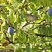 Mönchsgrasmückenweibchen im heimischen Zwetschgenbaum.