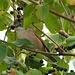 Die Beeren des Hartriegels sind beliebt.
