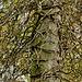 Toter Baum mit totem Efeukorsett