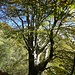 Prächtige Buche im Herbstwald