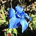 Frühlingsenzian im Herbst. Trollblumen sahen wir unterwegs auch und Zwergaugentrost