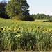 Sonnenblumenfelder gibt es auch