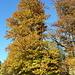der Herbst bringt phantastische Farben in die Bäume III