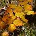 """""""Buchen sollst du suchen"""". Das Auffinden ist ein Einfaches, wenn sie in schönstem Herbstgold erstrahlen."""