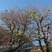 Ein Kastanienbaum auf dem Bahnhofplatz Brig blüht im Oktober: Auch Bäume spüren manchmal einen zweiten Frühling