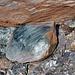 Bündner Bergschildkröte 1 von 2000