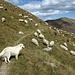 Viele Schafe und einige Herdenschutzhunde, welche sich aber keinen Deut um uns scherten.