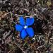 Die warmen Temperaturen führen zu einer zweiten Blüte der Frühlingsenziane