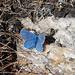 """Auf 2500 m traf ich noch diesen """"Himmelblauen Bläuling"""" (Polyommatus bellargus) an"""