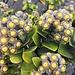 wir treffen immer wieder auf für uns unbekannte (&farbige) Pflanzen, welche aus dem warmen Lavaboden spriessen..