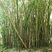 der erste Abschnitt im Hanakapi'ai Tal führt durch Bambuswälder...
