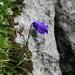 Purple bell flower (Scheuchzers Glockenblume, Campanula scheuchzeri)