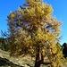 ein Prachtbaum mit einem gewaltigen Stammumfang