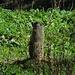 Ständige Aufmerksamkeit ist bei den Murmeltieren ganz wichtig! / Per le marmotte è importante essere sempre attente!