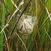 Ei-Kokon einer Wespenspinne, Argiope bruennichi, bozzolo