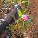 un rododendro fiorito a quota 1700 metri al 22 di ottobre