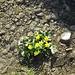Dotterblumen in einem plätschernden Bächlein - Frühlingsidylle (Ende Oktober) auf 1550 m