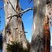 Wegzeichen - an zerfallenden Bäumen
