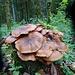 Pilzkolonie auf einem Baumstumpf