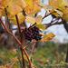 Einige Trauben hängen noch an den Stöcken