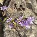 Campanula trachelium L.<br />Campanulaceae<br /><br />Campanula selvatica.<br />Campanule gantelée.<br />Nesselblättrige Glockenblumen.