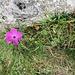 Dianthus carthusianorum L. s.str.<br />Caryophillaceae<br /><br />Garofano dei Certosini.<br />Oillet des Charteux.<br />Gewöhnliche Kartäuser-Nelke.