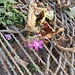 Silene dioica (L.) Clairv.<br />Caryophillaceae<br /><br />Silene dioica.<br />Silene dioique.<br />Rote Waldnelke.