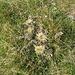 Carlina acaulis subsp. caulescescens (Lam.) Schübl. & G: Martens<br />Asteraceae<br /><br />Carlina bianca.<br />Carline blanche.<br />Silberdistel.