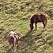"""Sull'altro versante ecco i famosi """"cavalli del Bisbino""""."""