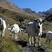 Gutmütiges Vieh auf dem Weg