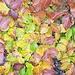 Interessant, wie unterschiedlich die Blätter an einem einzigen Zweig gefärbt sind