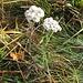 Achillea millefolium L. s.str. Asteraceae  Millefoglio montano. Achillée millefeuille. Gewöhnliche Wiesen-Schafgarbe.
