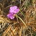 Dianthus carthusianum L. s.str. Caryophillaceae  Garofano dei Certosini. Oillet des Chartreux. Gewöhnliche Kartäuser-Nelke.