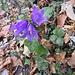 Campanula trachelium L. Campanulaceae  Campanula selvatica. Campanule gantelée. Nesselblättrige Glockenblume