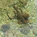 une petite pieuvre : rare à observer, en bord de Mer .