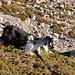 Im Aufstieg vom Refuge de l'Erco zum Monte Cinto - Andere sind jetzt schon im Abstieg...
