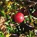 Gewöhnliche Moosbeere (Vaccinium oxycoccos) im Issinger Moor. Sie gilt in Deutschland als gefährdet, ist essbar und reich an Vitamin C.<br /><br />Ossicocco, ossia mortella di palude. Commestibile, ricca di vitamina C, minacciata in Germania.