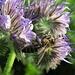 Die Rainfarn-Phazelie (Phacelia tanacetifolia) hinterlässt bei den Bienen schwarze Pollenhöschen / Questa pianta fa le mutandine nere dagli api!